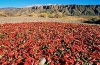 Argentina, Salta, drying pepper