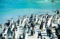 South Africa, Cape point, penguins at Boulder's beach
