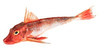 Surmullet