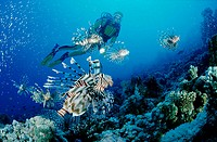 Lionfish, turkeyfish and scuba diver, Pterois volitans, Egypt, Red Sea, Hurghada
