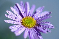 Aster (Aster sp.)