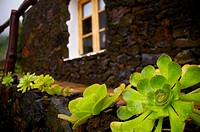 Aeonium. El Hierro. Canary islands. Spain