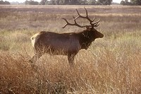 Male tule elk, a subspecies of the California elk, San Luis National Wildlife Refuge in Los Banos, California. Tule elks, once nearly extinct, are mak...