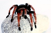 A black and red spider crawling on a stone