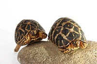 Two tortoises crawling up a stone together