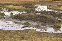 Hippopotamus/n(Hippopotammus-amphibius)/nMara,-Kenya