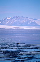 Orca-or-Killer-Whale-spy-hopping-(Orcinus-orca),-McMurdo-Sound,-Antarctica