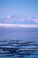 Orca-or-Killer-Whale-spy-hopping-(Orcinus-orca),-McMurdo-Sound,-Antarctica