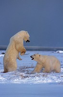 Polar-Bears-Fighting-(Ursus-maritimus)
