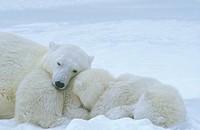 Polar-Bear-with-young-Manitoba,-Canada