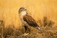 Ferruginous-Hawk/n(Buteo-regalis)/nMT