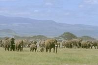Afr.-Elephant-Herd-walking-across-Plain,-Amboseli-NP,-Kenya-(Loxodonta-africana)
