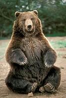 Kodiak-Bear-(Ursus-arctos)