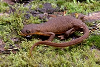 Rough-skinned-Newt-(Taricha-grannulosa),-Theuston-Co,-WA