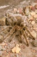 Chilean-Rose-Hair-Tarantula-(Grammostola-spatulata)