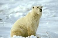 Polar-Bear/n(Thalarctos-maritimus)/nHudson-Bay/Manitoba