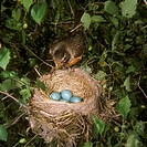 American-Robin-at-nest-(Turdus-migratorius)-Central-MI