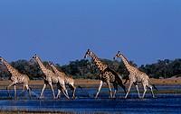 Giraffe/n(Giraffa-camelopardalis)/nOkavango,-Botswana