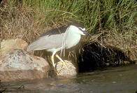 Black-crowned-Night-Heron-(Nycticorax-nycticorax)-Montana---June