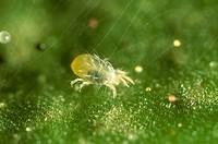 TWOSPOTTED-SPIDER-MITE-Tetranychus-urticae-Adult-female-feeding-on-a-cotton-leaf.