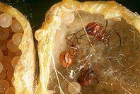 Black-Widow-Spider-Egg-Sac-with-hatching-Young--(Latrodectus-mactans)