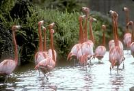 Greater-Flamingo-(Phoenicopterus-ruber)-Caribbean