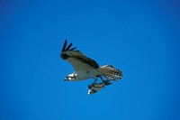 Osprey-in-Flight-carrying-Fish-(Pandion-haliaetus),-Southern-FL
