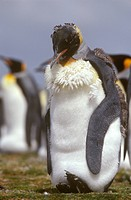 King-Penguin-Moulting-(Aptenodytes-patagonicus)-Falklands