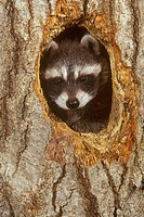 Raccoon-Baby-in-Tree-Den-Hole-(Procyon-lotor)-PA,-USA/n(Captive)