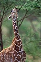 Giraffe,-Reticulated-(Giraffa-camelopardalis)-Samburu-GP/Kenya,-E.-Africa