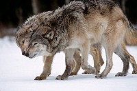 Gray-Wolf-(Canis-lupus)-Social-Behavior