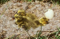 Canada-Goose-Chicks-/n(Branta-canadensis)-/nAlpena-County,-Michigan