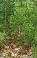 Horsetail/n(Equisetum-sp)/nAdirondack-State-Park,-NY/nNew-York