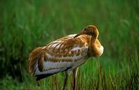 Whooping-Crane,-Fledgling-preening-(Grus-americanus),-Central-FL