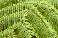 Closeup-of-Hapu´u-Fern-Tree-leaves-(Cibotium-chasmissoi)/nVolcano-Village,-Kona,-HI