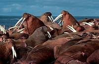 Pacific-Walrus-/n(Odobenus-rosmarus)/nBristol-Bay,-Alaska