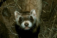 Black-Footed-Ferret-/n(Mustela-nigripes)/nWestern-USA