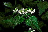 Garlic-Mustard-(Alliaria-officinalis)-invasive-Weed,--Pocono-Mts.,-PA
