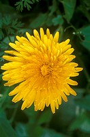 Common-Dandelion-(Taraxacum-officinale),-NJ
