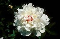 Peony-(Paeonia-sp.)-Burpee´s-Festiva-Maxima-New-Jersey