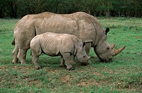 White-Rhinoceros-w/-Calf/n(Ceratotherium-simium)/nSamburu-Kenya