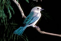 Blue-gray-Tanager-(Thraupis-episcopus)-Trinidad
