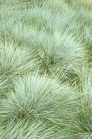 Blue-Fescue-Grass-(Festuca-glauca)-Huntington-Gardens---CA