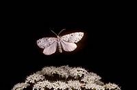 Geometer-Moth/n(Geometridae)/nJuneau,-AK