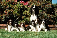 Springer-Spaniel-with-Puppies