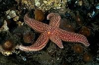 Common NE Atlantic Starfish (Asterias forbesii) with regenerated arm