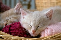 Kittens-sleeping-in-yarn