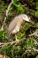 Black-crowned-Night-Heron-(Nycticorax-violaceus),-Everglades-NP,-FL