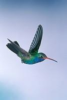 Broad-billed-Hummingbird-(Cynanthus-latirostris)-Madera-Canyon,-AZ--4702625