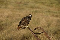 Red-Tailed-Hawk-(Buteo-jamaicensis)-Dark-Phase/CO